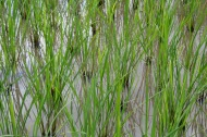 Paddy seedlings
